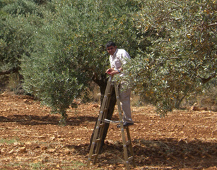 Why Olive Trees?