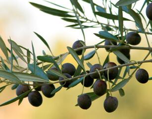 Olive Tree Species