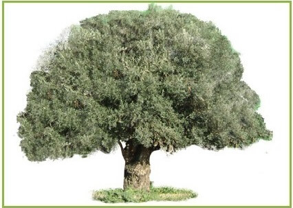 Get A Free Olive Tree